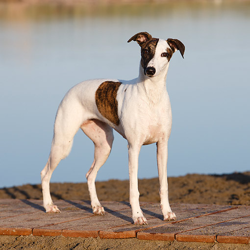 DOG 14 CB0065 01 © Kimball Stock Whippet Standing By Water
