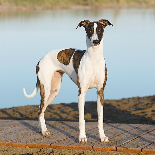 DOG 14 CB0066 01 © Kimball Stock Whippet Standing By Water