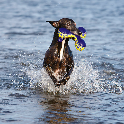 DOG 14 CB0068 01 © Kimball Stock Whippet Running In Water With Toy