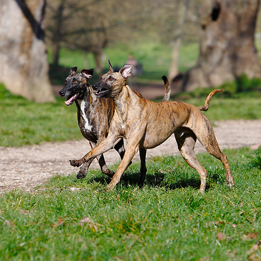 DOG 14 CB0071 01 © Kimball Stock Whippets Running In Grass