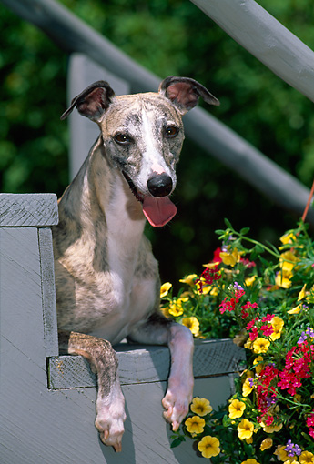 DOG 14 CE0065 01 © Kimball Stock Close-Up Of Whippet Laying On Stairs By Flowers