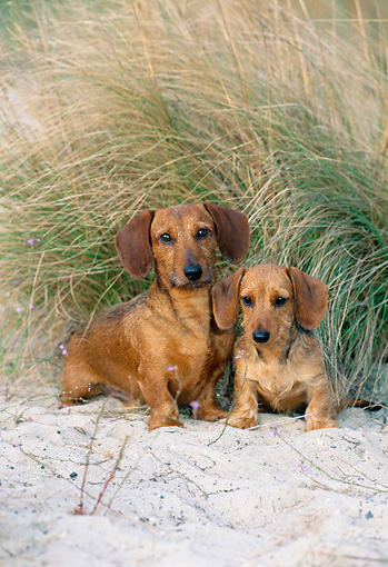 DOG 14 CE0067 01 © Kimball Stock Miniature Wirehaired Dachshund And Puppy Sitting On Sand