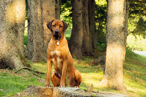 DOG 14 DB0003 01 © Kimball Stock Rhodesian Ridgeback Sitting On Tree Stump