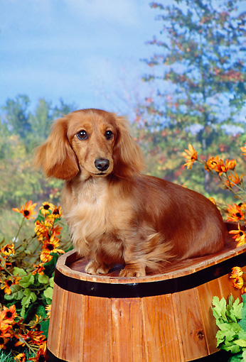 DOG 14 FA0022 01 © Kimball Stock Long Hair Dachshund Sitting On Barrel By Flowers.