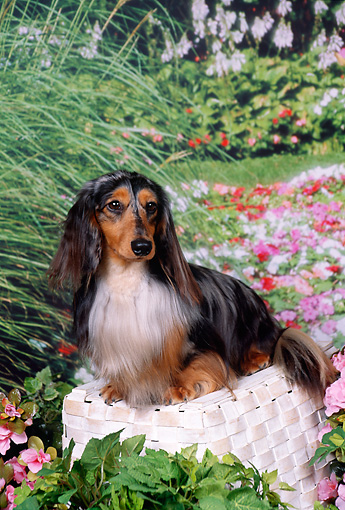 DOG 14 FA0026 01 © Kimball Stock Long Hair Dapple Dachshund Sitting On Basket By Flowers