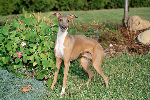 DOG 14 FA0027 01 © Kimball Stock Italian Greyhound Standing On Grass By Shrubs