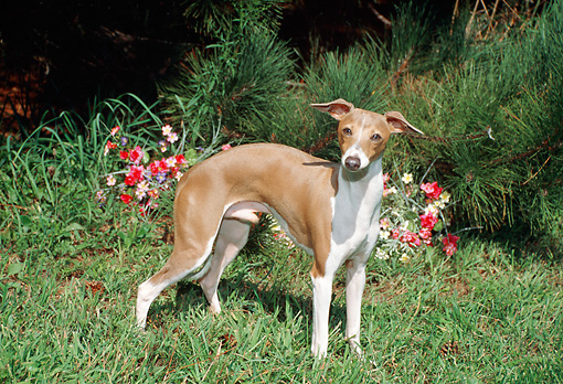 DOG 14 FA0028 01 © Kimball Stock Italian Greyhound Standing On Grass By Flowers