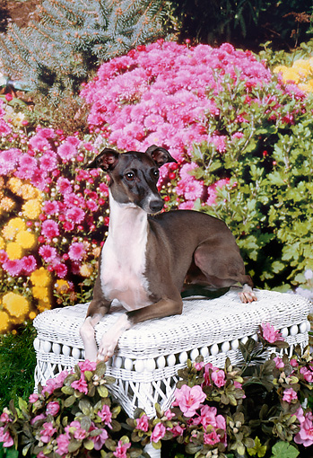 DOG 14 FA0031 01 © Kimball Stock Italian Greyhound Laying On Wicker Bench In Garden