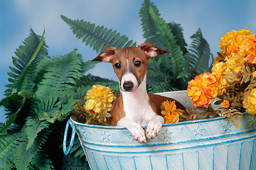 DOG 14 FA0032 01 © Kimball Stock Italian Greyhound Laying In Bucket With Yellow Flowers And Ferns
