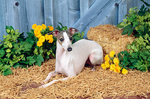 DOG 14 FA0034 01 © Kimball Stock Italian Greyhound Laying On Hay By Wooden Fence And Yellow Flowers