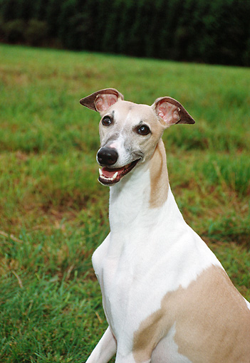 DOG 14 FA0035 01 © Kimball Stock Portrait Of Whippet Sitting In Grass Field