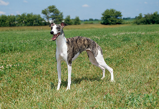 DOG 14 FA0036 01 © Kimball Stock Whippet Standing In Grass Field