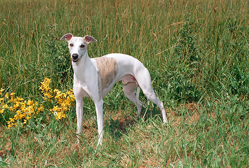 DOG 14 FA0037 01 © Kimball Stock Whippet Standing In Tall Grass By Yellow Flowers