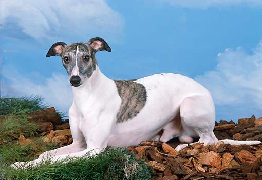 DOG 14 FA0038 01 © Kimball Stock Whippet Laying On Grass And Wood Chips