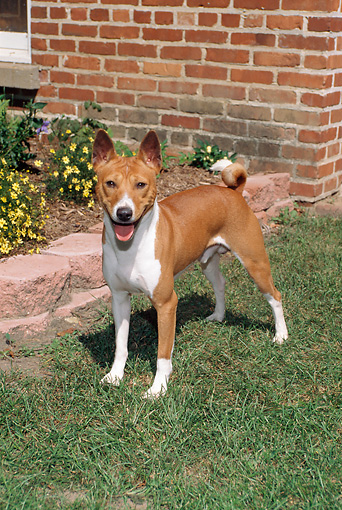 DOG 14 FA0039 01 © Kimball Stock Basenji Standing On Lawn By Brick Wall