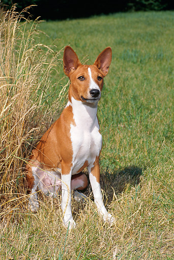 DOG 14 FA0040 01 © Kimball Stock Basenji Sitting On Grass Field