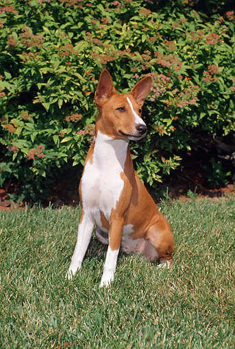 DOG 14 FA0041 01 © Kimball Stock Basenji Sitting On Grass Field