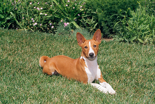 DOG 14 FA0042 01 © Kimball Stock Basenji Laying On Grass Field