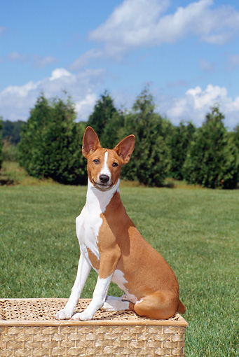 DOG 14 FA0043 01 © Kimball Stock Basenji Sitting On Picnic Basket On Grass Field