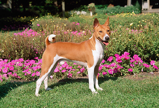 DOG 14 FA0044 01 © Kimball Stock Basenji Standing On Grass By Garden