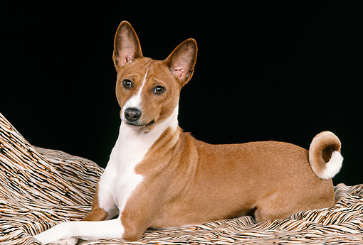 DOG 14 FA0045 01 © Kimball Stock Basenji Laying On Blanket In Studio