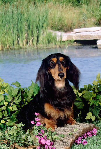 DOG 14 FA0049 01 © Kimball Stock Long-Haired Dachshund Sitting By Lake
