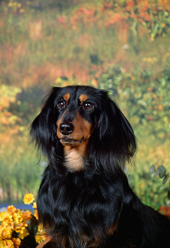 DOG 14 FA0050 01 © Kimball Stock Portrait Of Long-Haired Dachshund Sitting By Autumn Leaves