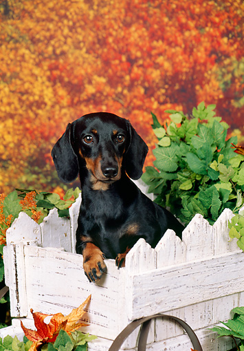 DOG 14 FA0051 01 © Kimball Stock Smooth-Haired Dachshund Sitting In Wheelbarrow By Autumn Trees