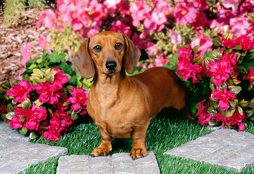 DOG 14 FA0052 01 © Kimball Stock Smooth-Haired Dachshund Standing In Garden