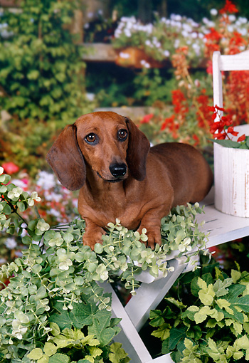 DOG 14 FA0053 01 © Kimball Stock Smooth-Haired Dachshund Laying On Wooden Bench In Garden