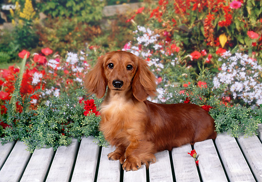 DOG 14 FA0054 01 © Kimball Stock Long-Haired Dachshund Sitting On Wooden Deck In Garden