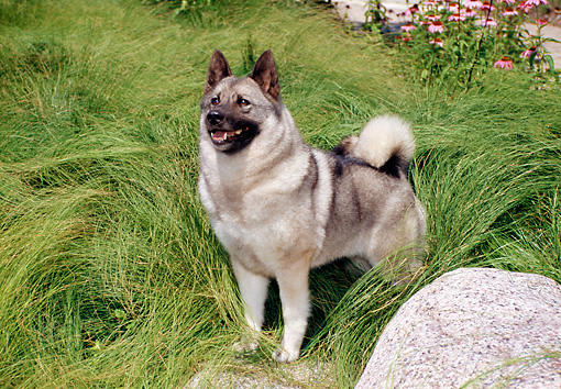DOG 14 FA0055 01 © Kimball Stock Norwegian Elkhound Standing In Tall Grass
