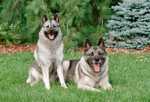 DOG 14 FA0059 01 © Kimball Stock Two Norwegian Elkhounds Resting On Grass By Evergreen Trees