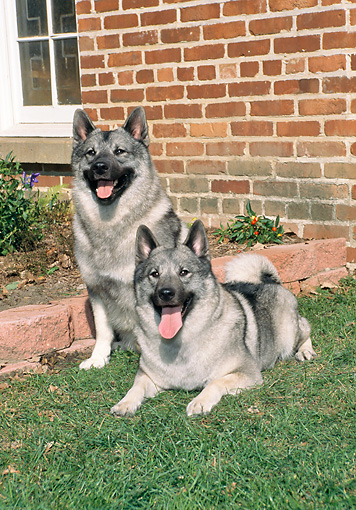 DOG 14 FA0060 01 © Kimball Stock Two Norwegian Elkhounds Resting On Lawn By Brick House