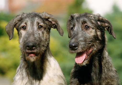 DOG 14 GL0004 01 © Kimball Stock Close-Up Of Two Irish Wolfhounds