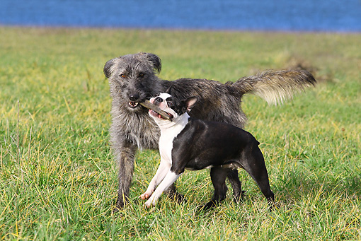 DOG 14 JE0018 01 © Kimball Stock Scottish Deerhound And Boston Terrier Playing On Grass By Water