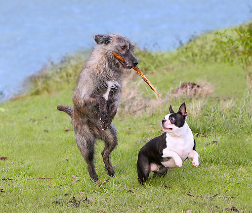 DOG 14 JE0019 01 © Kimball Stock Scottish Deerhound And Boston Terrier Playing On Grass By Water
