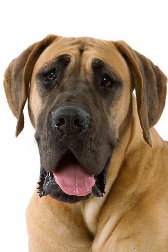 DOG 14 JE0023 01 © Kimball Stock Head Shot Of Great Dane On White Seamless