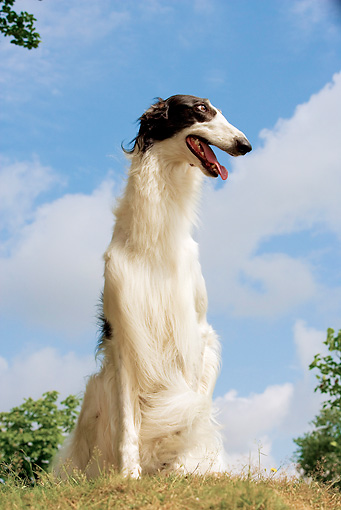 DOG 14 JE0028 01 © Kimball Stock Borzoi AKA Russian Wolfhound Sitting On Grass Against Blue Sky