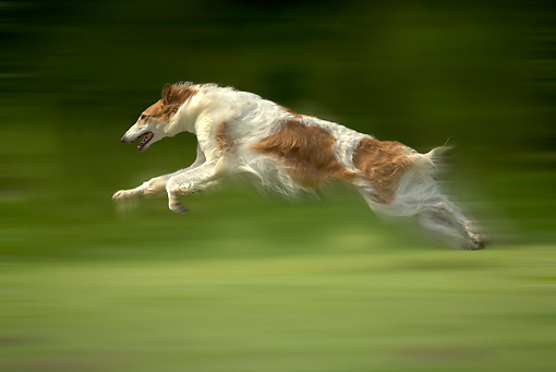 DOG 14 JE0029 01 © Kimball Stock Borzoi AKA Russian Wolfhound Running On Grass Field