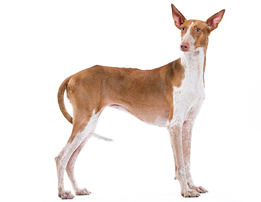 DOG 14 JE0030 01 © Kimball Stock Canary Warren Hound Standing On White Seamless Profile