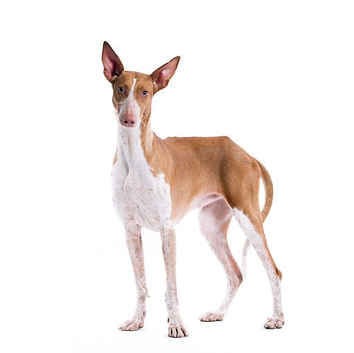 DOG 14 JE0031 01 © Kimball Stock Canary Warren Hound Standing On White Seamless