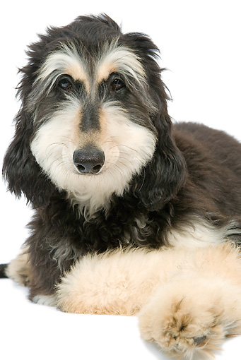 DOG 14 JE0036 01 © Kimball Stock Portrait Of Afghan Hound Laying On White Seamless