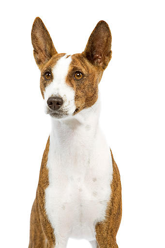 DOG 14 JE0037 01 © Kimball Stock Portrait Of Basenji Sitting On White Seamless