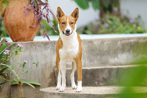DOG 14 JE0039 01 © Kimball Stock Basenji Standing On Steps By Pool
