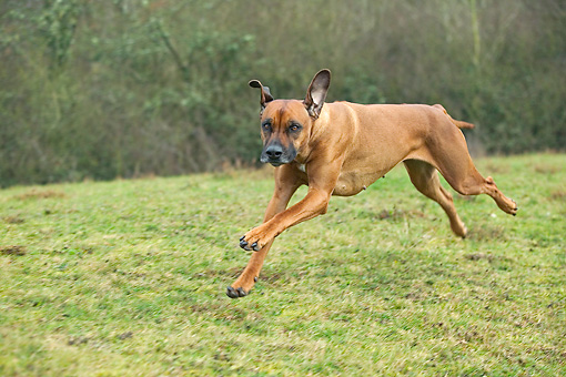 DOG 14 JE0042 01 © Kimball Stock Rhodesian Ridgeback Running On Grass Field