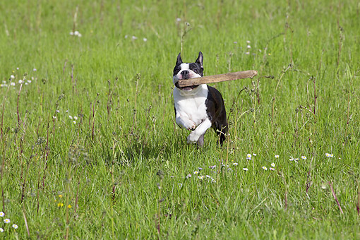 DOG 14 JE0054 01 © Kimball Stock Boston Terrier Fetching Wooden Board On Grass