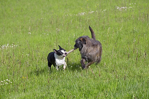 DOG 14 JE0055 01 © Kimball Stock Boston Terrier Playing Tug Of War With Mutt On Grass