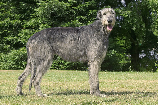 DOG 14 JE0056 01 © Kimball Stock Irish Wolfhound Standing On Grass Profile