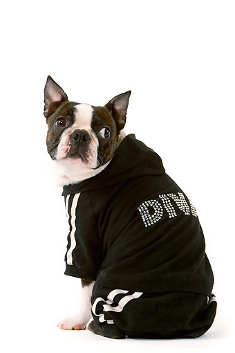 DOG 14 JE0057 01 © Kimball Stock Boston Terrier Being A Diva In Studio